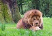 Cum poate fi imblanzit Leul?