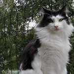 Norwegian_forest_cat